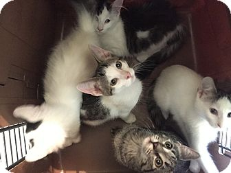 Domestic Longhair Kitten for adoption in Warren, Michigan - Rickon