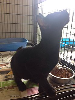 Domestic Shorthair Kitten for adoption in Jefferson, North Carolina - Marie