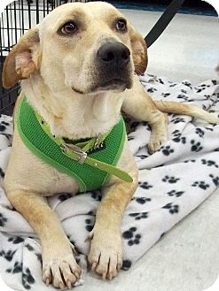 Basset Hound/Corgi Mix Dog for adoption in Sterling Heights, Michigan - Elsa