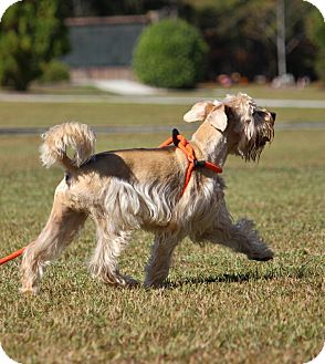 Terrier (Unknown Type, Medium) Mix Dog for adoption in Pinehurst, North Carolina - Beary