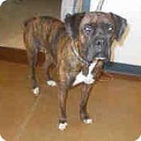 Adopt A Pet :: Bali Gal - Austin, TX