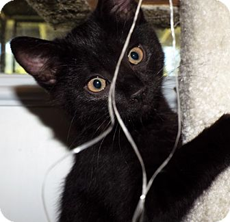 Domestic Shorthair Kitten for adoption in Grants Pass, Oregon - Pansy