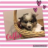Adopt A Pet :: Callie - Hazard, KY