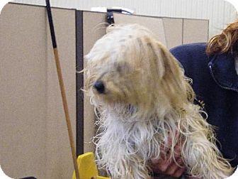Terrier (Unknown Type, Medium)/Maltese Mix Dog for adoption in Holland, Michigan - Tango