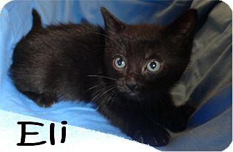 Domestic Shorthair Kitten for adoption in Ozark, Alabama - Eli