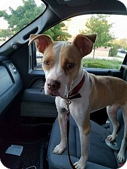 Boxer/Labrador Retriever Mix Dog for adoption in Glendale, Wisconsin - Bella