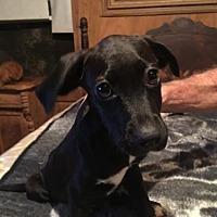 Adopt A Pet :: SHENENDOAH BARKLEY - Waldron, AR