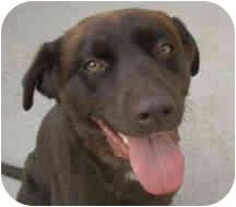 Labrador Retriever/Airedale Terrier Mix Dog for adoption in Proctorville, Ohio, Ohio - Otis