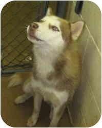 Siberian Husky Dog for adoption in Stillwater, Oklahoma - Sandy