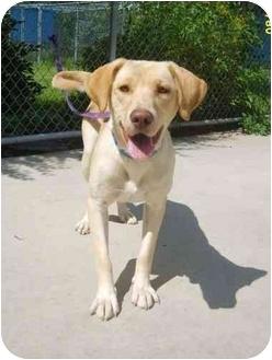 Labrador Retriever Dog for adoption in Austin, Minnesota - Jorji