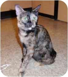 Domestic Shorthair Kitten for adoption in Houston, Texas - Bonnie