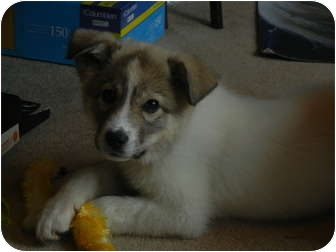 Great Pyrenees/Husky Mix Puppy for adoption in Hartford, Connecticut - Lulu