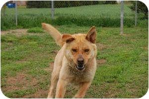 Chow Chow/Labrador Retriever Mix Dog for adoption in Barron, Wisconsin - Goldene