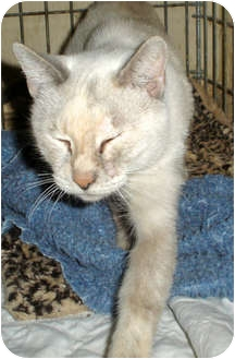 Siamese Cat for adoption in Mesquite, Texas - Baby Girl