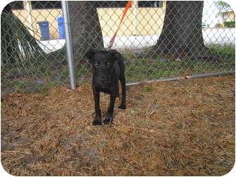 Pointer Mix Puppy for adoption in Bradenton, Florida - Levi