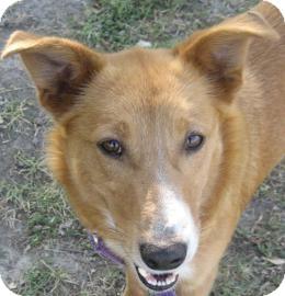 Border Collie/Shepherd (Unknown Type) Mix Dog for adoption in Austin, Texas - Dana