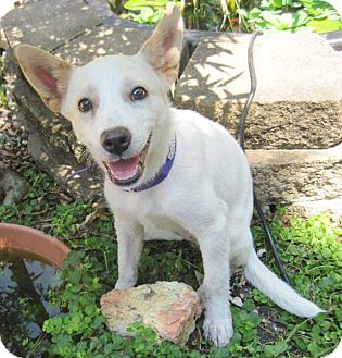 Australian Cattle Dog Mix Puppy for adoption in Spring Valley, New York - Vicky