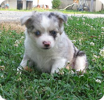 Chihuahua Puppy for adoption in Evansville, Indiana - Bolt and Storm