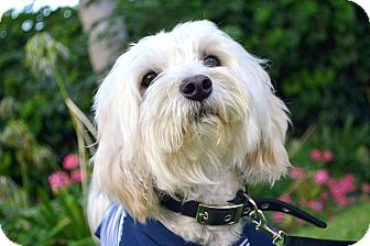 Maltese/Westie, West Highland White Terrier Mix Dog for adoption in Los Angeles, California - Ziggy