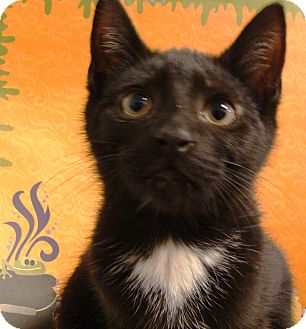 Domestic Shorthair Kitten for adoption in Albany, New York - Mark and Mikey
