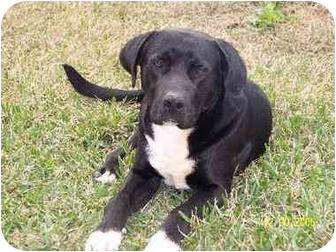 Labrador Retriever Mix Dog for adoption in Chiefland, Florida - Bruno-HEARTS & HOPE:$50
