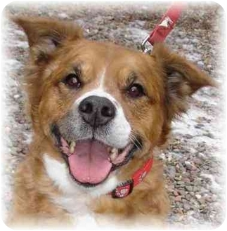 Golden Retriever/Border Collie Mix Dog for adoption in Wyoming, Minnesota - Cinnamon