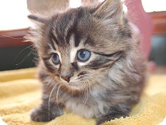 Domestic Longhair Kitten for adoption in North Judson, Indiana - Harley