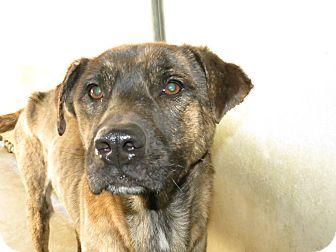 Labrador Retriever/Shepherd (Unknown Type) Mix Dog for adoption in Henderson, North Carolina - RICK