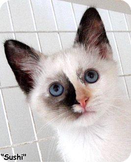 Siamese Kitten for adoption in Key Largo, Florida - Sushi