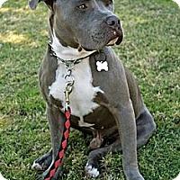 Adopt A Pet :: GRAYSON - Phoenix, AZ