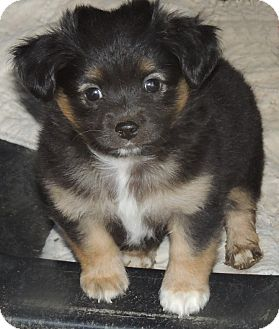 King Charles Spaniel/Dachshund Mix Puppy for adoption in La Habra Heights, California - Ty