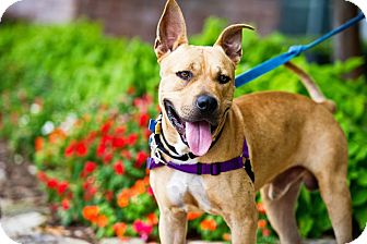 American Staffordshire Terrier Mix Dog for adoption in Houston, Texas - Rufio
