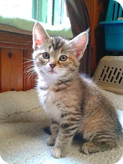 Domestic Shorthair Kitten for adoption in Irwin, Pennsylvania - Piper