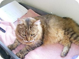 Domestic Mediumhair Cat for adoption in East Smithfield, Pennsylvania - Fluffy