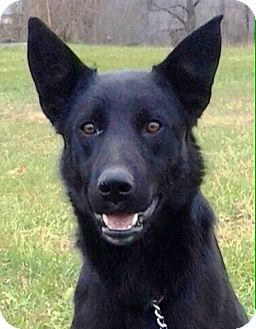 German Shepherd Dog Puppy for adoption in Oswego, Illinois - I'M ADOPTED Eclipse Cusimano