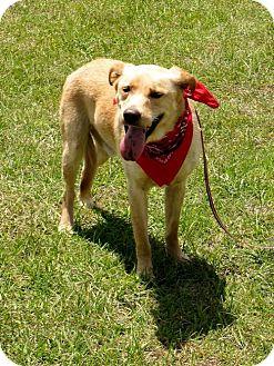 Labrador Retriever Mix Dog for adoption in Port St. Joe, Florida - Starsky-DAWGS