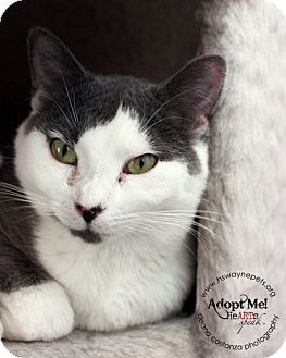 Domestic Shorthair Cat for adoption in Lyons, New York - Daisy
