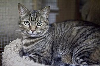 Domestic Shorthair Cat for adoption in Midway City, California - Kameron