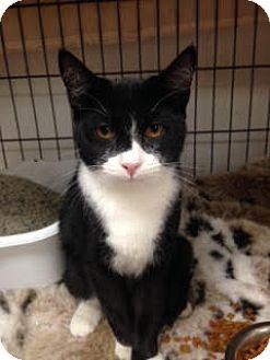 Domestic Shorthair Kitten for adoption in Acushnet, Massachusetts - Hansel