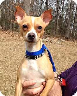 Chihuahua Mix Dog for adoption in Bloomfield, Connecticut - Fruity Pebbles
