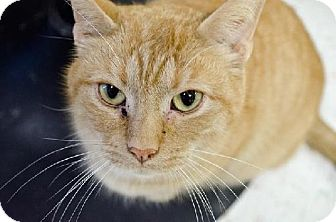 Domestic Shorthair Cat for adoption in Columbus, Ohio - Chilly Mitts