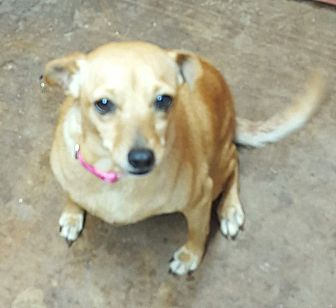 Chihuahua/Terrier (Unknown Type, Small) Mix Dog for adoption in San antonio, Texas - Michelle