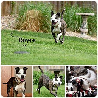 Pit Bull Terrier Dog for adoption in Sioux Falls, South Dakota - Royce