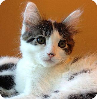 Maine Coon Kitten for adoption in Rocklin, California - Petra