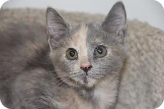 Domestic Shorthair Kitten for adoption in Greensboro, North Carolina - Sassy