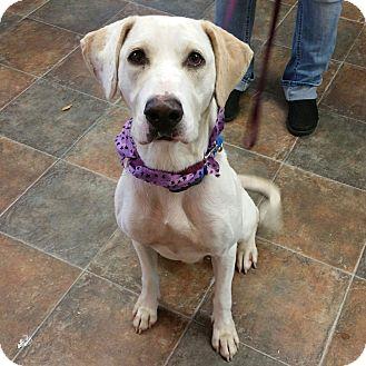Labrador Retriever/Hound (Unknown Type) Mix Dog for adoption in Lisbon, Ohio - Raina