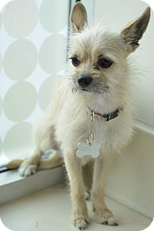 Terrier (Unknown Type, Small) Mix Puppy for adoption in Culver City, California - Harry