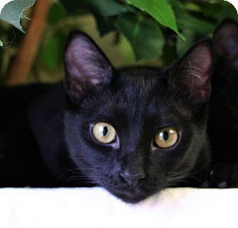 Domestic Shorthair Cat for adoption in Hastings, Nebraska - Bullwinkle