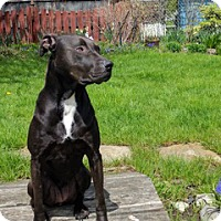 Adopt A Pet :: Gypsy Girl - Westfield, NY