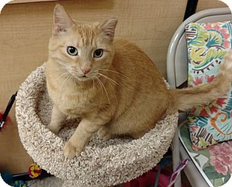 Domestic Shorthair Cat for adoption in Colmar, Pennsylvania - Lucy -Adoption Pending!